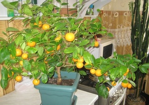 полив мандарина